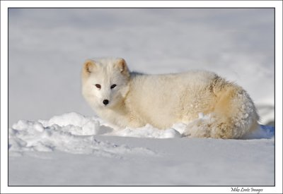 Arctic-Fox-in-snowdrift