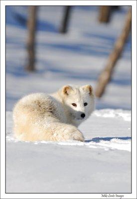 Arctic Fox upright