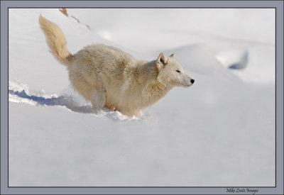 Arctic Wolf downhill run