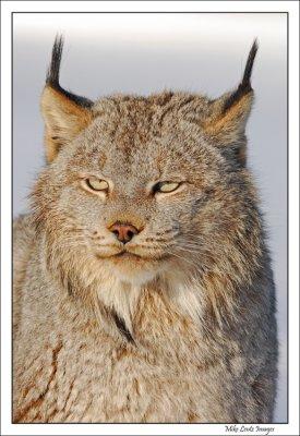 Lynx headshot