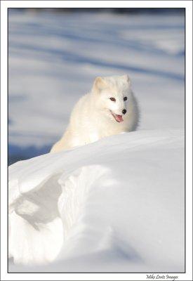 Arctic Fox on snowbank