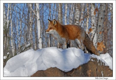 Fox-on-lookout-rock