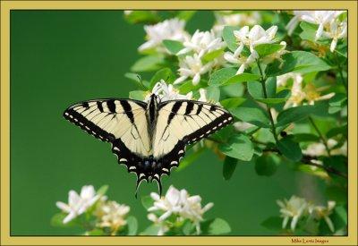 Tiger-ST-on-flower