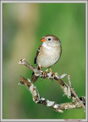 Field-sparrow-moss-stick