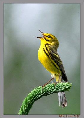 Prairie-warbler-singing