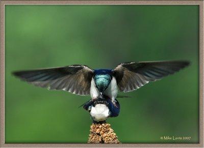 Tree-Swallow-mounting