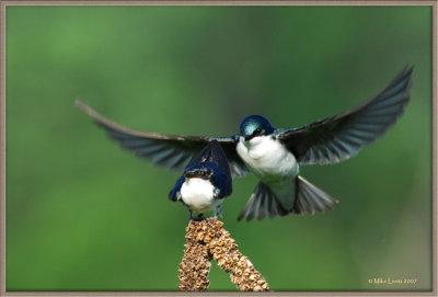 Tree-swallow-approach