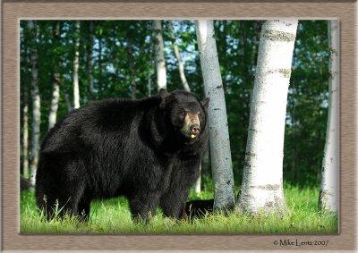 Black Bear Birch