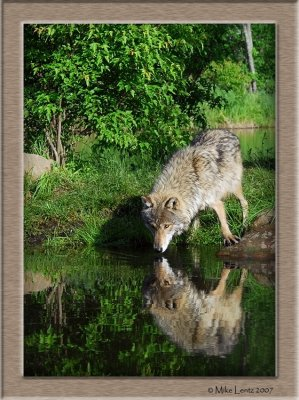 Timber Wolf drink reflection