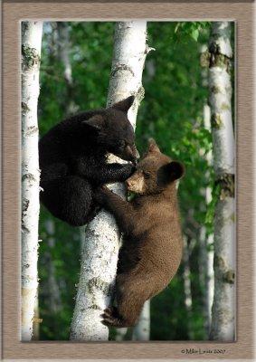 Bear cubs in tree bite