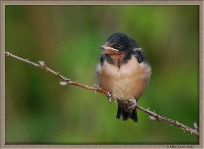 Barn swallow baby