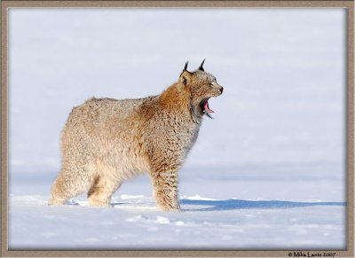 Lynx opening up mouth