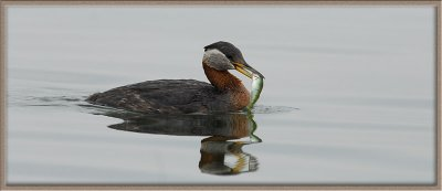 RN Grebe with fish