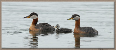 Red Necked grebe family portrait