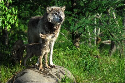 Wolf and companion pup