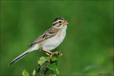 Clay-colored Sparrow, Spizella pallida