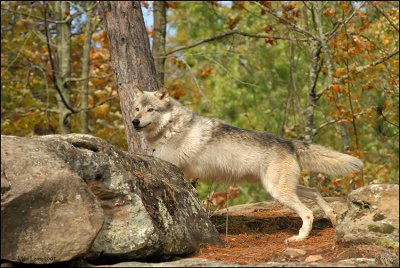 Wolf on lookout point