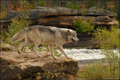 Wolf over looking river