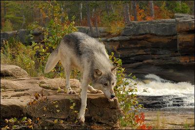 Wolf step down near river
