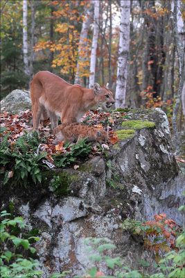Cougar and pup