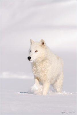 Arctic Wolf  seeker