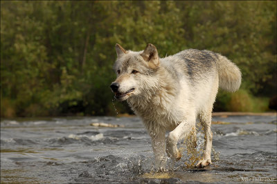 Wolf across the stream