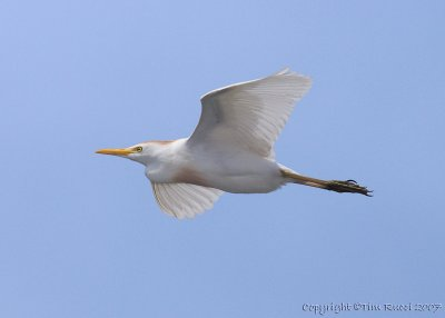 30655 - Cattle Egret