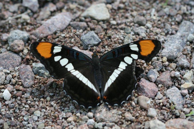 Arizona Sister (Adelpha eulalia)