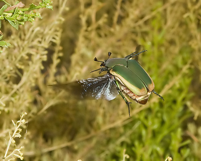 Green Fruit Beetle (<em> Cotinis mutabilis</em>)