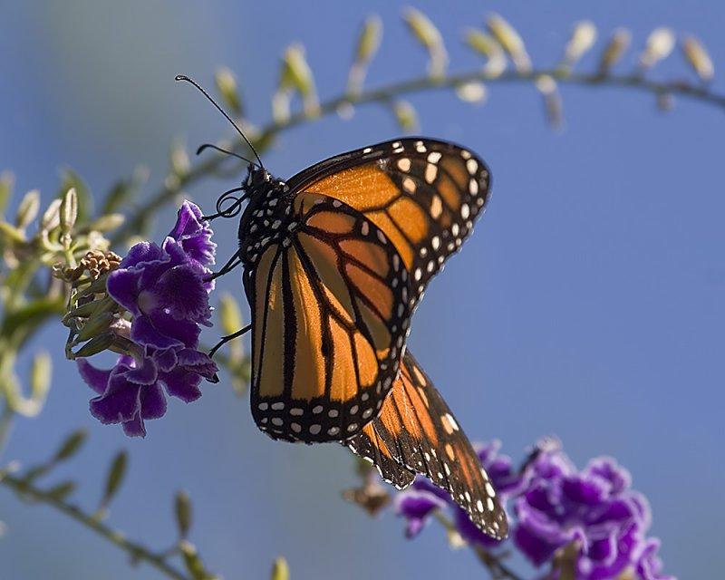 Monarch Butterfly (<em>Danaus plexippus</em>)
