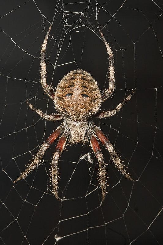 Orb Weavering Spider (<em>Neoscona crucifera</em>)