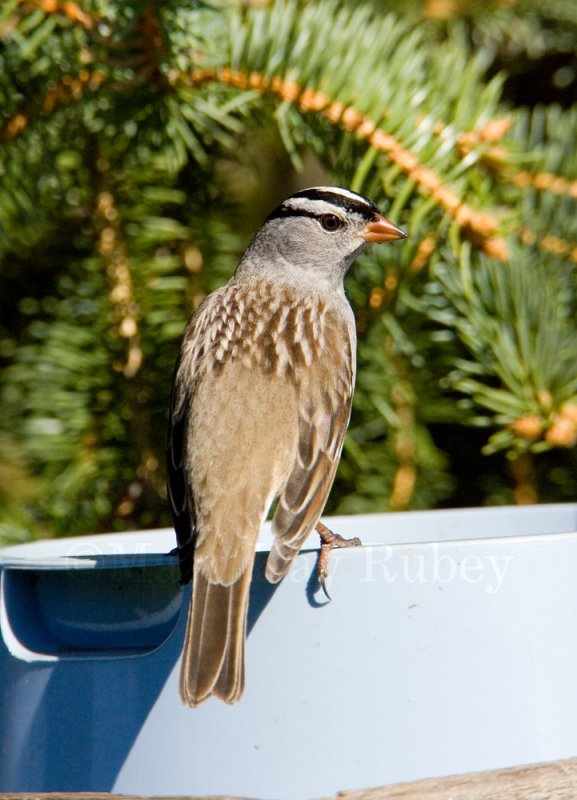 White-crowned Sparrow _H9G2984.jpg