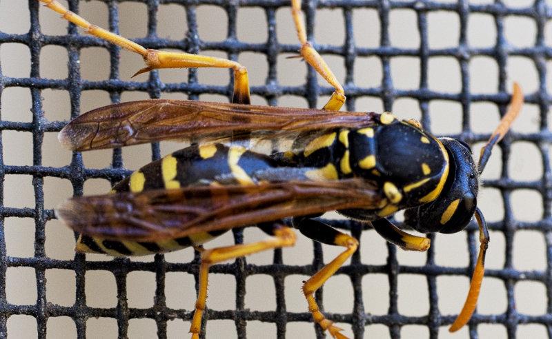 Yellow Jacket wasp - deceased