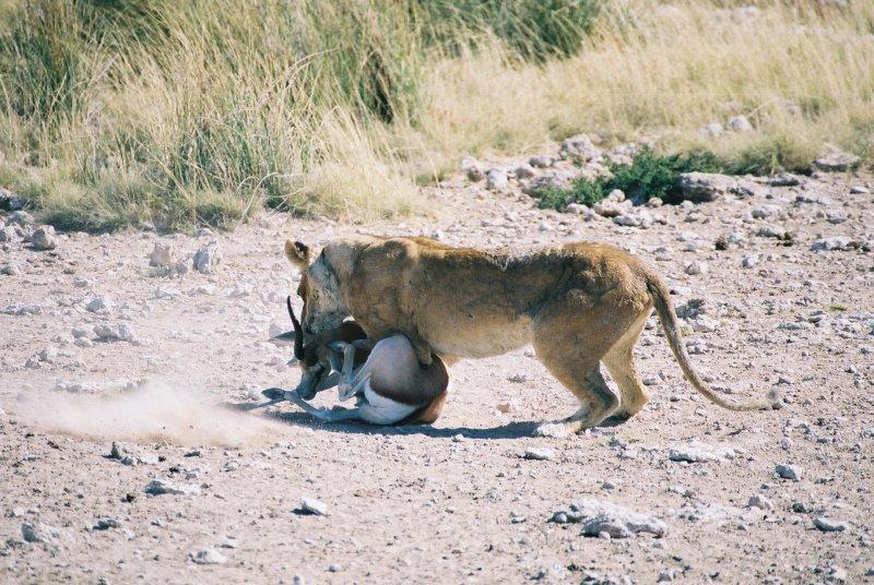 Lion Kill 2