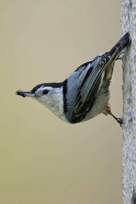 Nuthatch with lunch