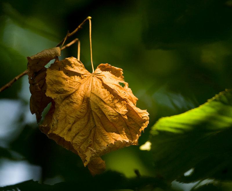 Maplelis Leafitis - Cant resist good light