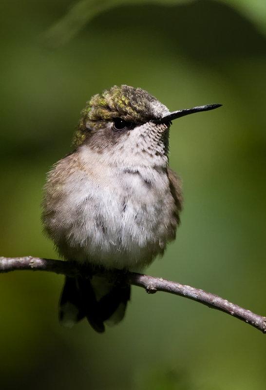 Ruby-throated Hummingbird4.jpg