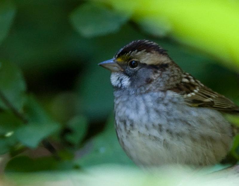 White-throated Sparrow.jpg