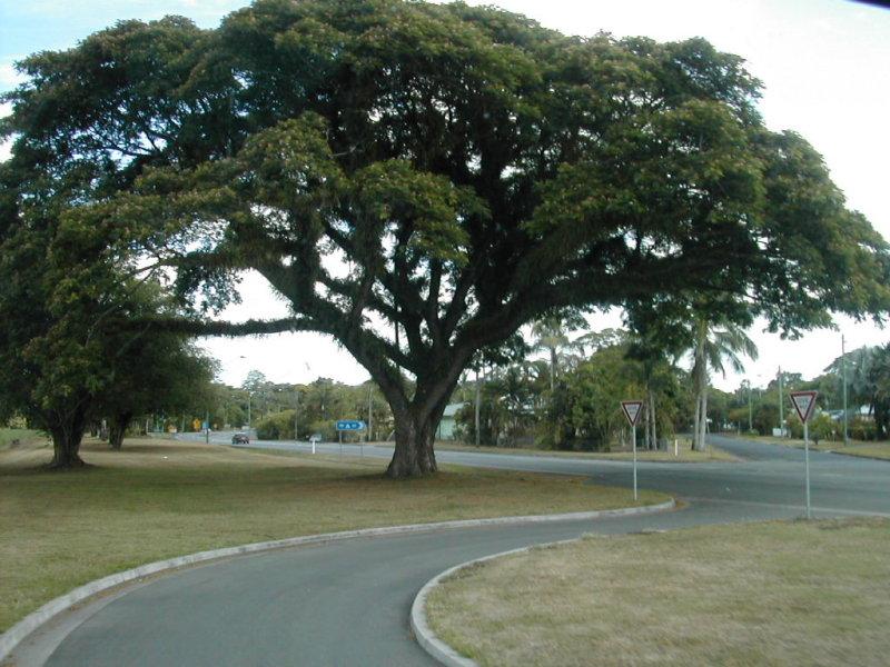 large tree somewhere in tasmania