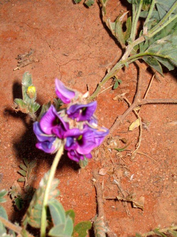 wildflower at Uluru (ayers rock)