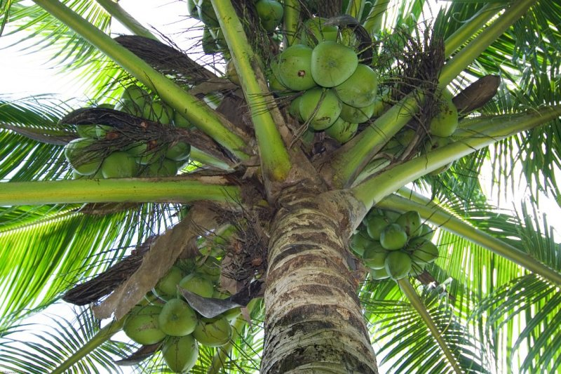 0977 Coconut