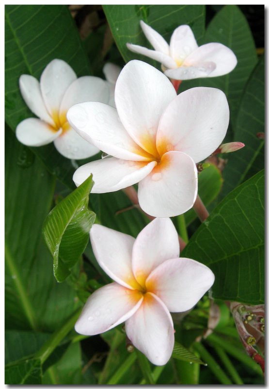 Sacuanjoche, Plumeria obtusa