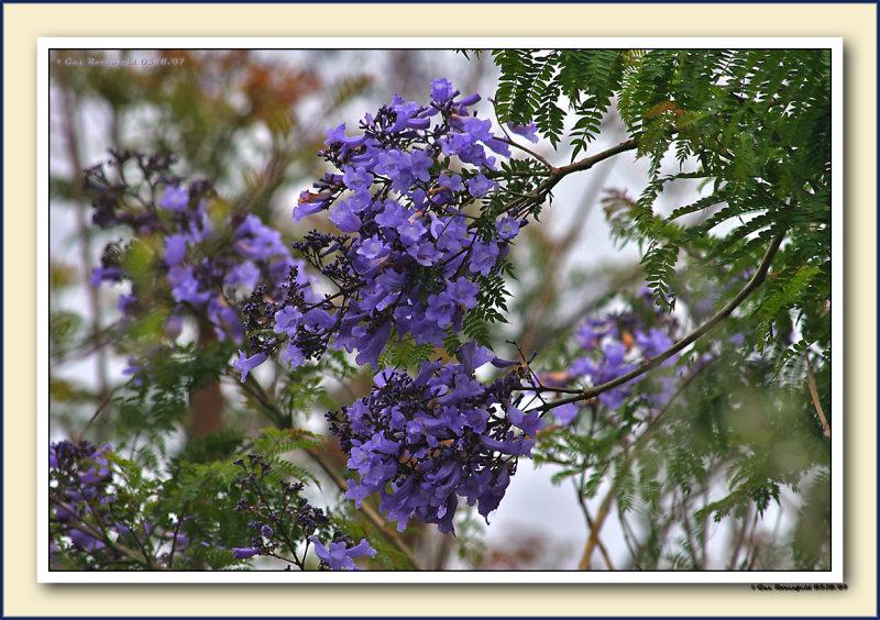 1st Jacaranda Splash For 07 1st Blossoms On This Tree