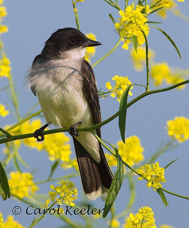 Kingbird in Mustard