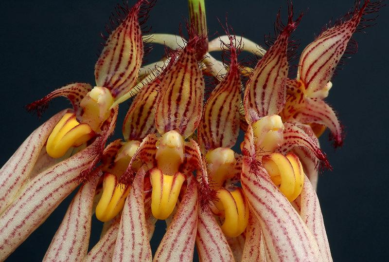 Bulbophyllum  longgissimum , close