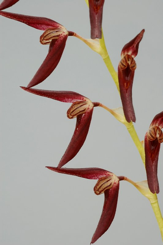 Pleurothallis tuerckeimii