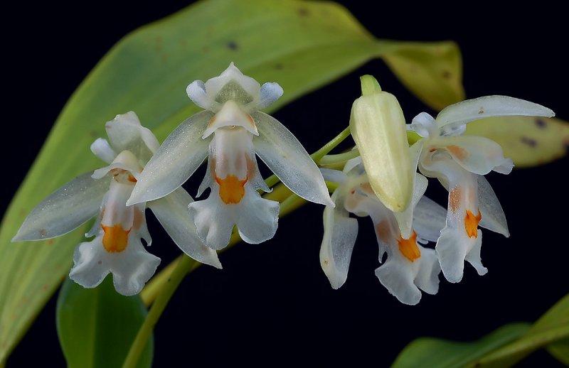 Chelonistele sulphurea, flowers 1,5 cm