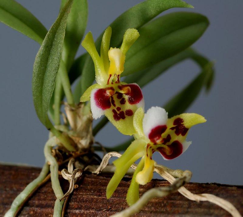 Cytroglossa  marileoniae,  plant 2.5 cm, Brasil