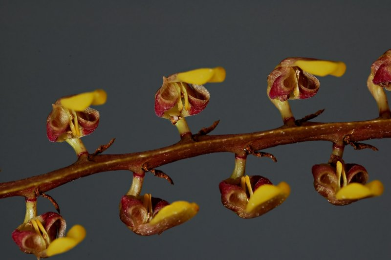 Bulbophyllum falcatum, close