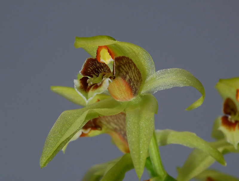 Coelogyne chloroptera, flower 2 cm